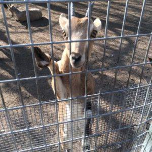 Goat in jail